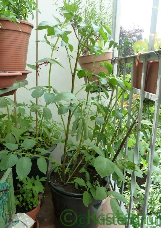 Kartoffelpflanze in einem Kübel