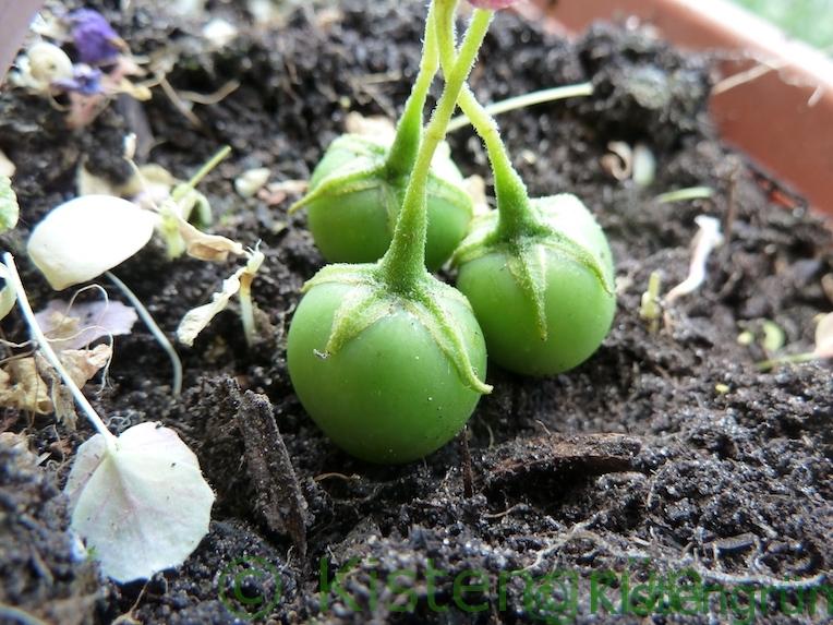 Kartoffel-Beere: grüne Früchte von Erdäpfeln