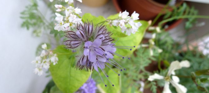 Welche Balkonpflanzen eignen sich als Bienenweide für Spätsommer und Herbst?