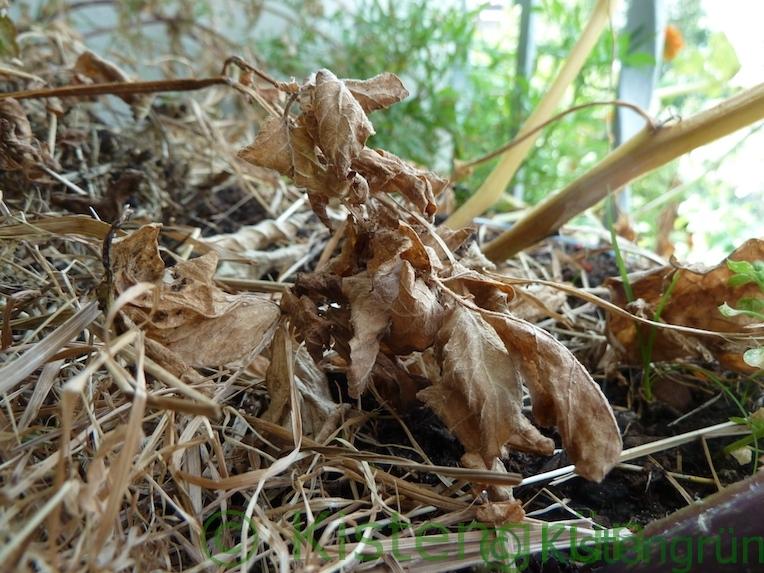 Vertrocknete Blätter der Kartoffel