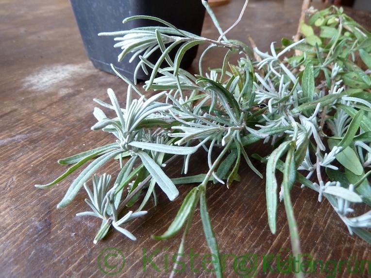 Lavendel Zweig