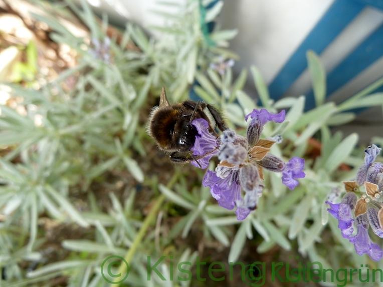 Hummel saugt Nektar aus einer Lavendelblüte