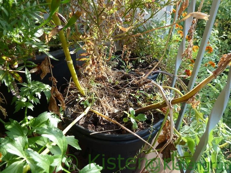 Abgsterobene Kartoffelpflanze in einem Topf auf dem Balkon
