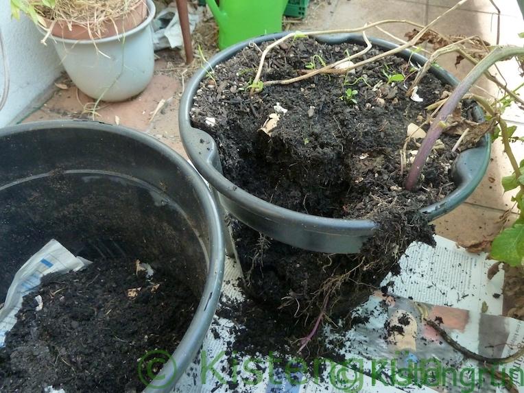 Kartoffelernte auf dem Balkon: Die Kartoffeln werden ausgegraben
