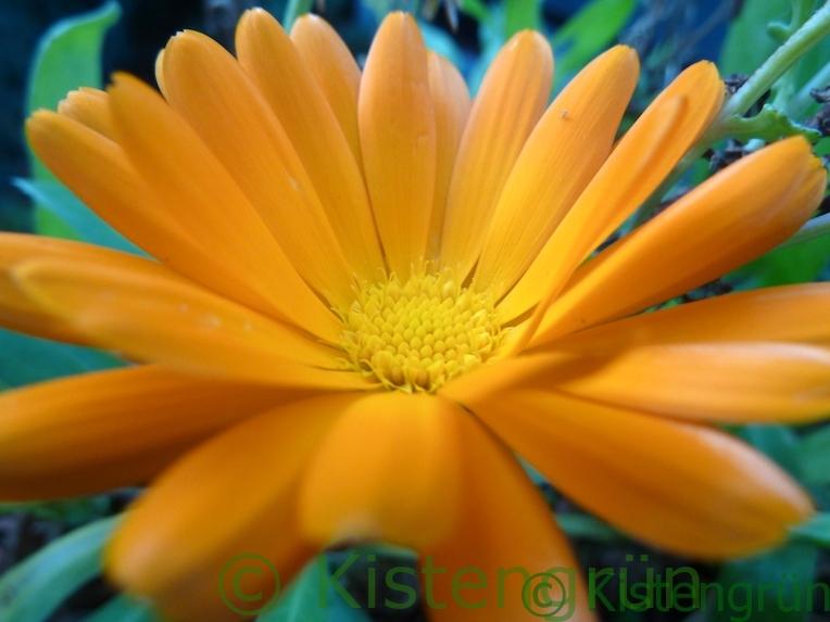 orangefarbene Ringelblumen