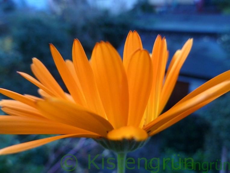 dunkel abgesetzte Spitze einer orange-gelbfarbenen Ringelblume