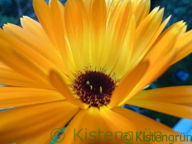 orange-gelbfarbene Ringelblumen