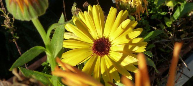 Wenn im November die Ringelblumen blühen…