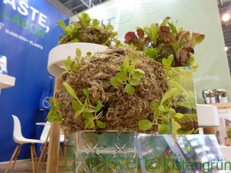 Mooskugel mit Salatpflanzen