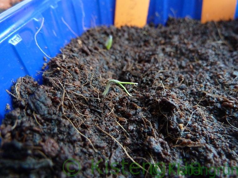 Tomaten Keimling Vorzucht Die Tomatensamen in der Schale mit Erde sind gekeimt.