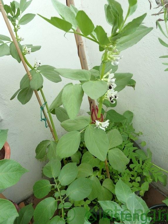 Lieblings Dicke Bohnen auf dem Balkon anbauen: Aussaat, Pflege und Ernte @DW_75