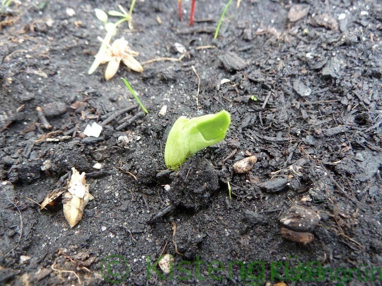 Puffbohnen-Keimling guckt aus der Erde
