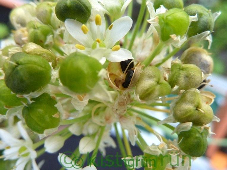 Schnittknoblauch Blüte und Samen