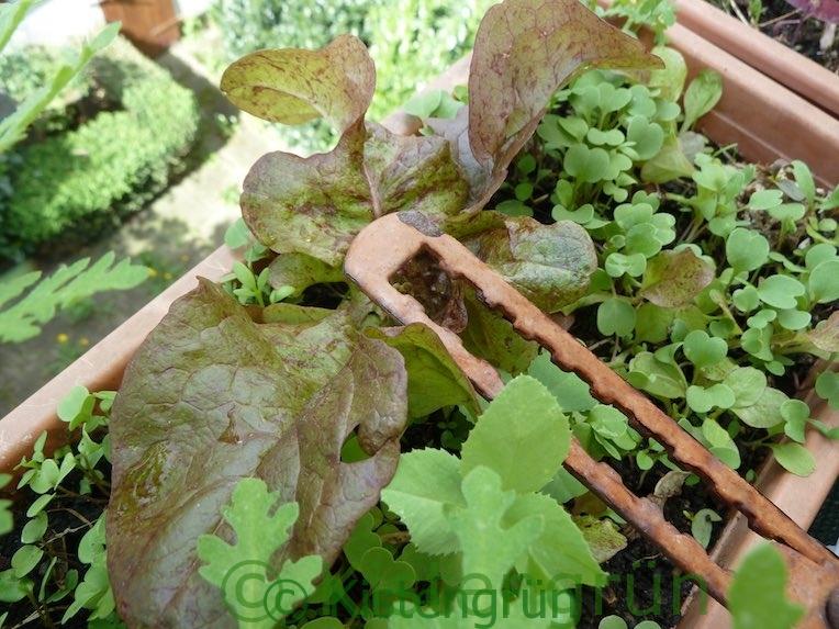 Salat und Rucola im Balkonkasten