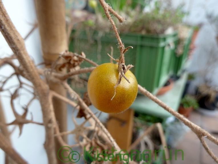 vergessene Tomate am Strauch