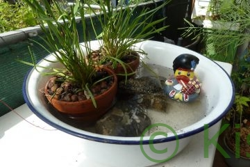 Ein Miniteich mit Sumpflanze und Gummiente auf dem Balkon