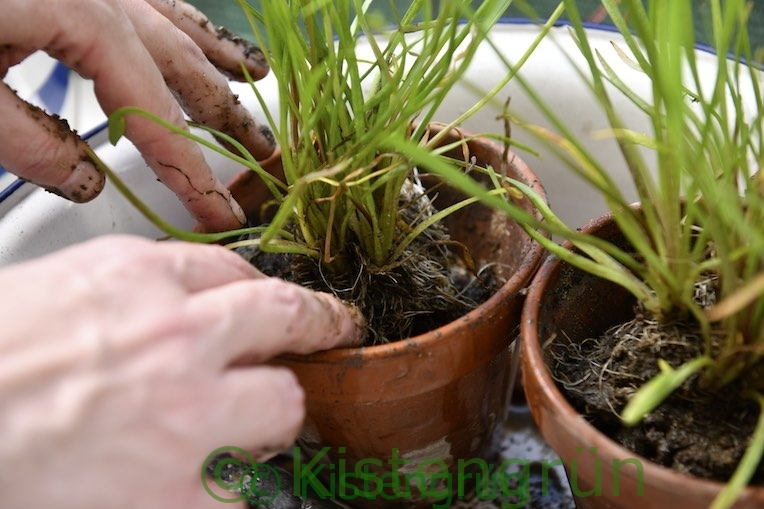 Sumpfpflanze umgetopft