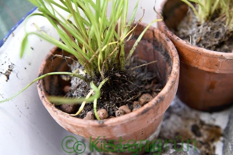 Geteilte Sumpfpflanze umgetopft