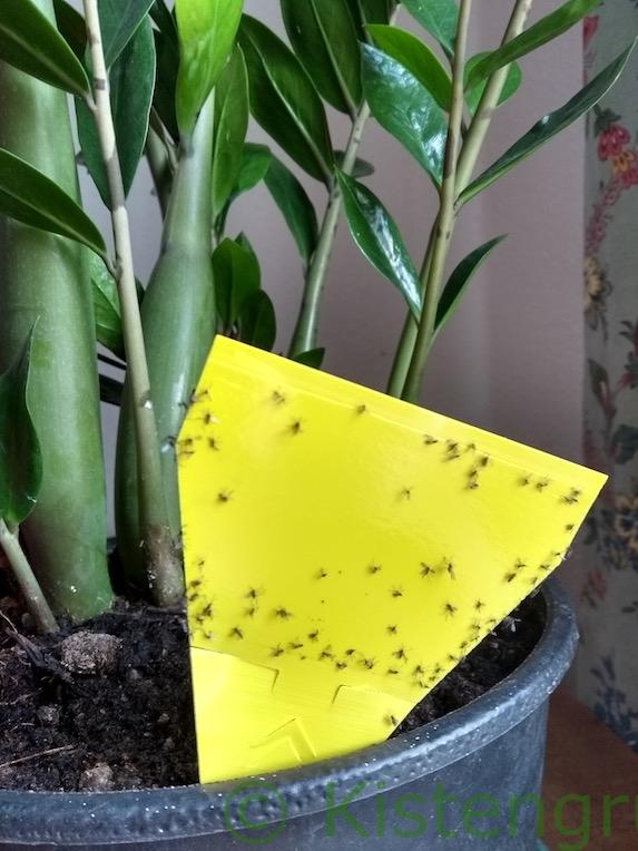 Trauermücken auf gelbem Klebesticker