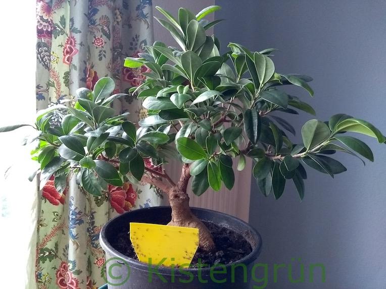 Trauermücken bei Zimmerpflanze mit Gelbsticker