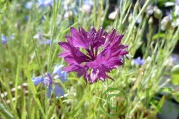 Kornblume violett