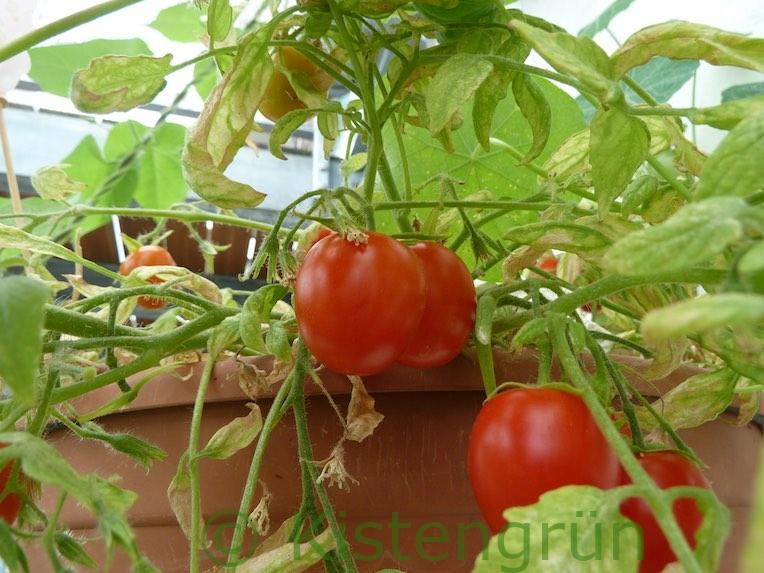 Die Ampeltomate Tumbling Tom red mit Früchten
