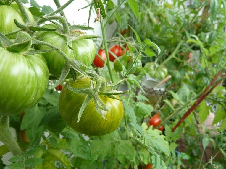 Unterschiedliche Tomatensorten auf dem Balkon