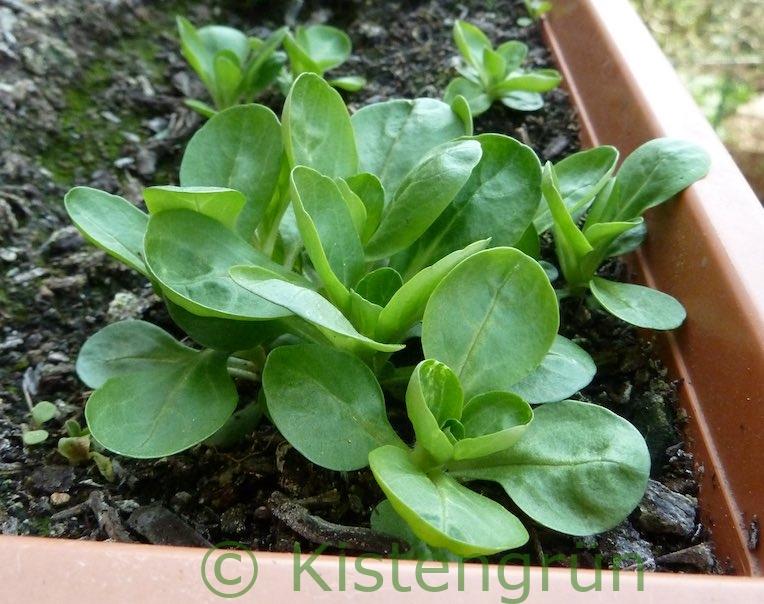 Feldsalat wächst im Balkonkasten