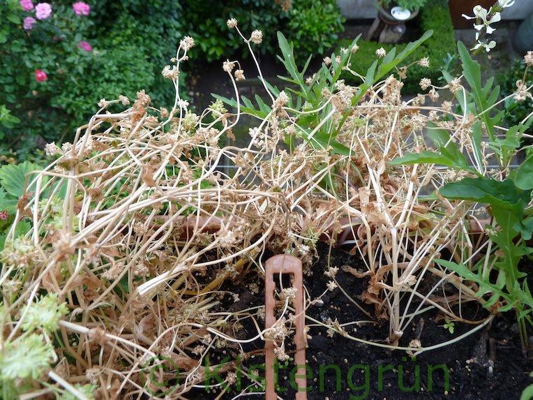 Vertrocknter Feldsalat mit Samen