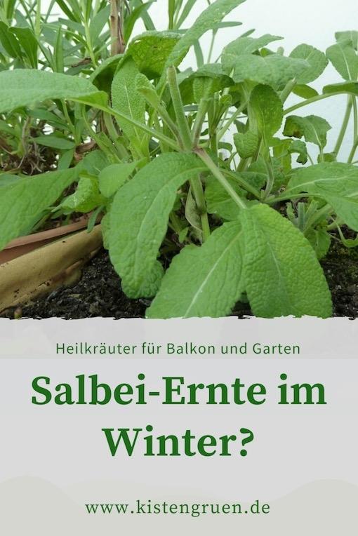 Salbei im Winter ernten