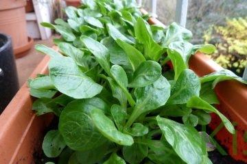 Vogerlsalat im Balkonkasten anbauen