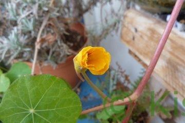 gelbe Kapuzinerkresse Blüte im Januar