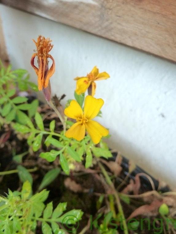 gelbe Tagetes Blüte