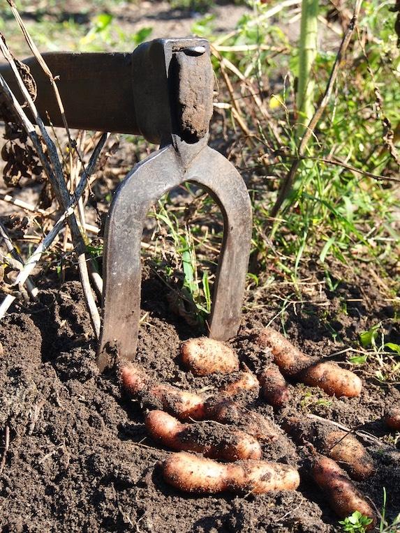 Kartoffeln Bamberger Hörnle Foto Heidi Lorey