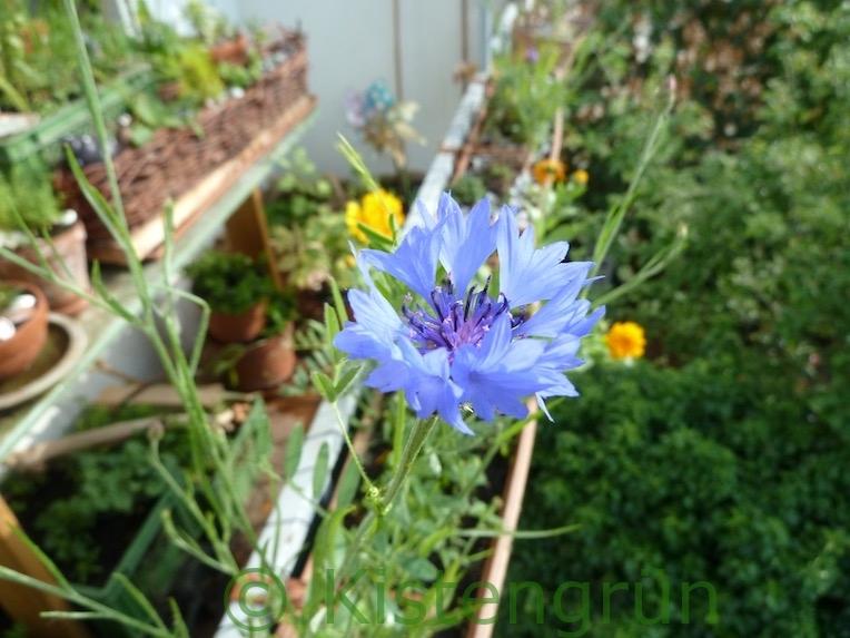 kornblume im Balkon-Garten 2020