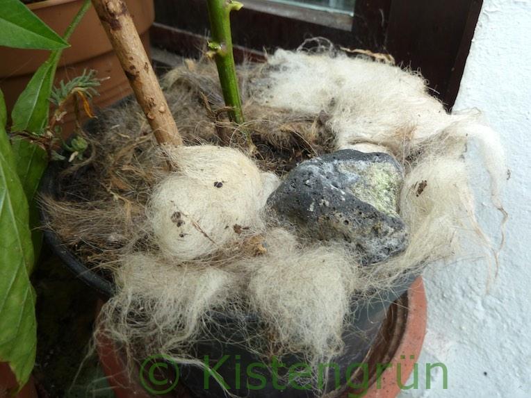 Paprika im Topf auf dem Balkon mit Schafwolle Mulch