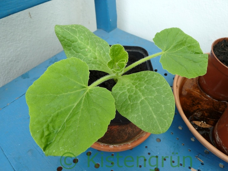 Junge Kürbispflanze, Hokkaido, in einem Topf
